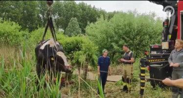 Koeien uit moeras gered door brandweer