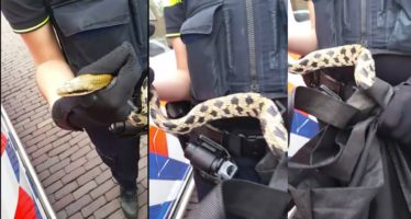 VIDEO Politie Arnhem pakt twee meter lange slang op straat