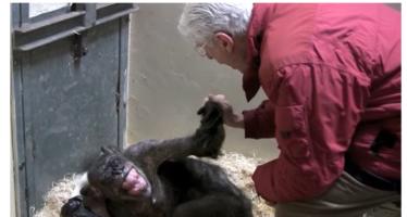 Ontroerende beelden van Arnhemse chimpansee die oude bekende ziet en weer eet