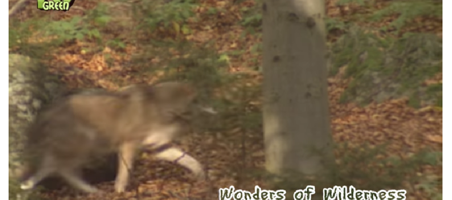 Provincie: Grijze wolf gesignaleerd op de Veluwe