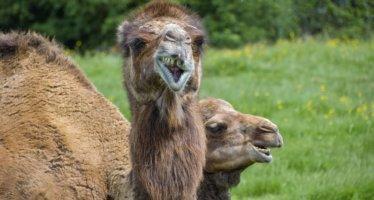 PvdD en D66 stellen vragen over aanwezigheid van kamelen bij festival 'Arnhem proeft'
