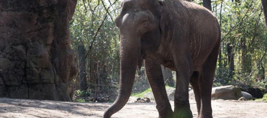 Burgers' Zoo neemt afscheid van olifant Rekka